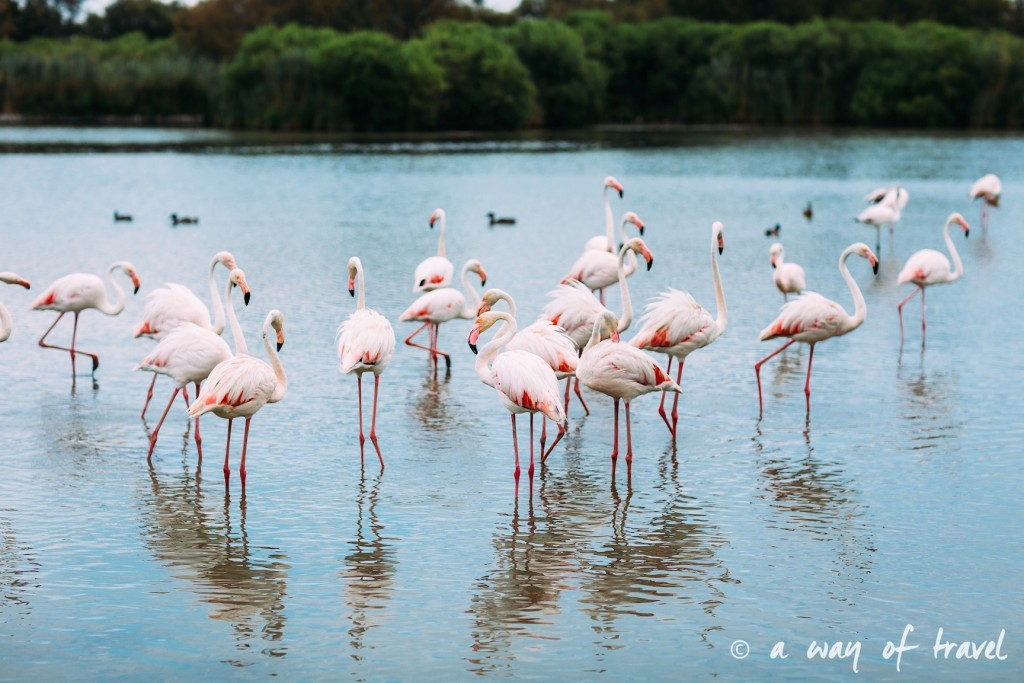 parc ornithologique pont du gau camargue flamants roses saintes maries-1