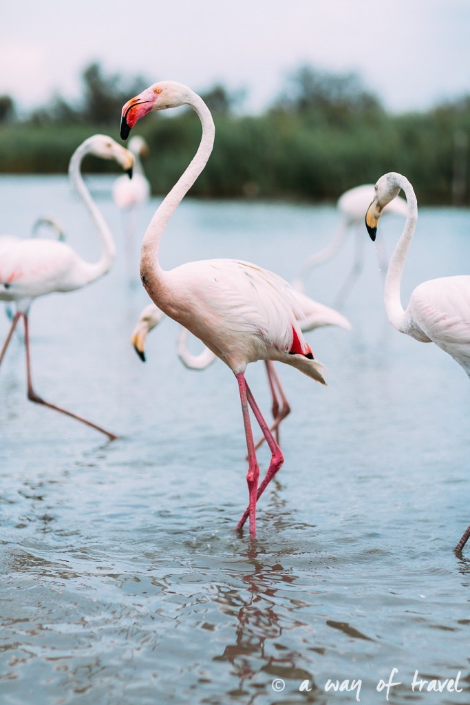 parc ornithologique pont du gau camargue flamants roses saintes maries-10