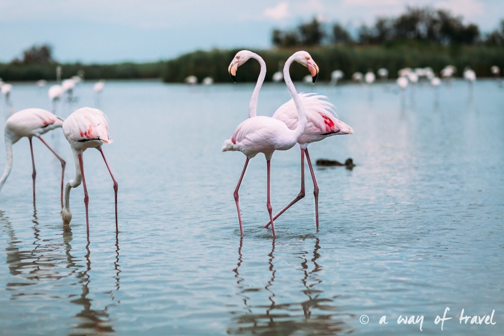parc ornithologique pont du gau camargue flamants roses saintes maries-16