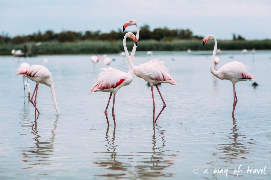 parc ornithologique pont du gau camargue flamants roses saintes maries-18