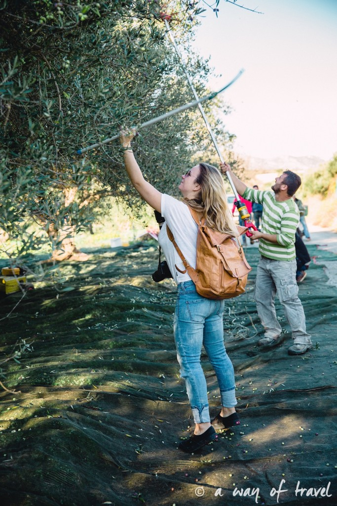 Crête olive fields aggrotourisme experiencecrete grece visit olivier huile