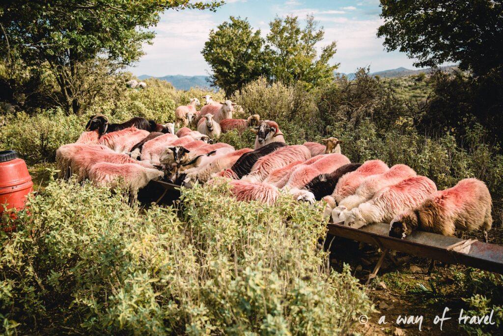 The Shepherd's Shelter Mount Ida mouton rose Crete-110