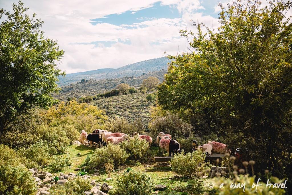 mouton rose The Shepherd's Shelter Mount Ida Crete-114