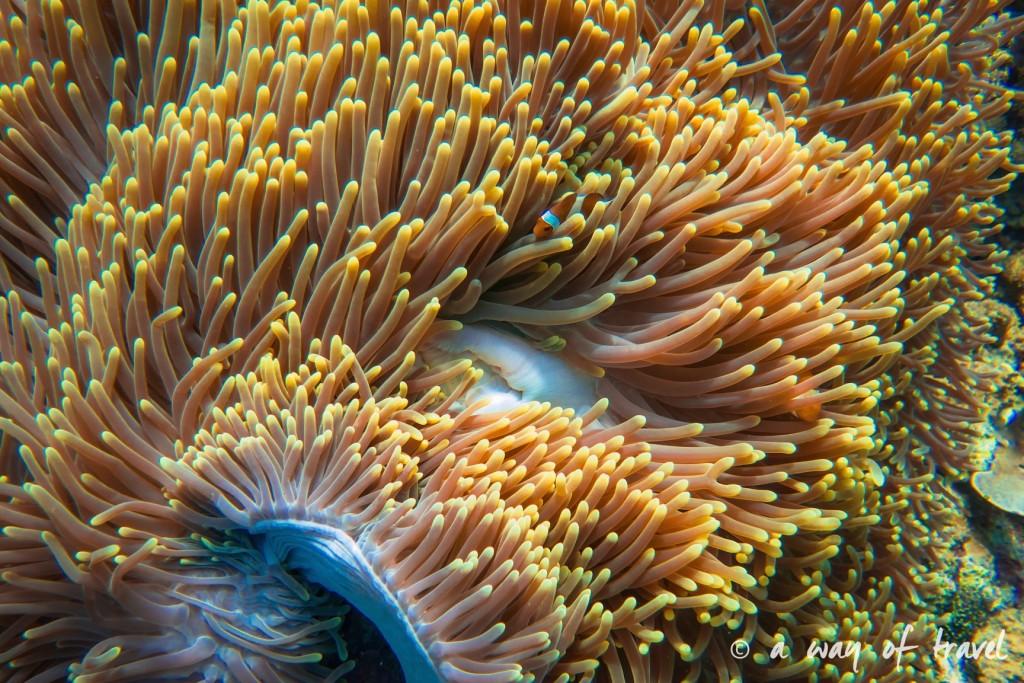 poisson clown anemone lovina permuteran bali visit 5