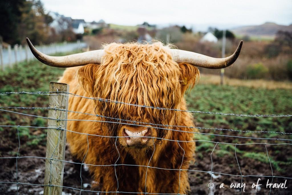 Ecosse visit scotland roadtrip isle skye blog cow highland 23