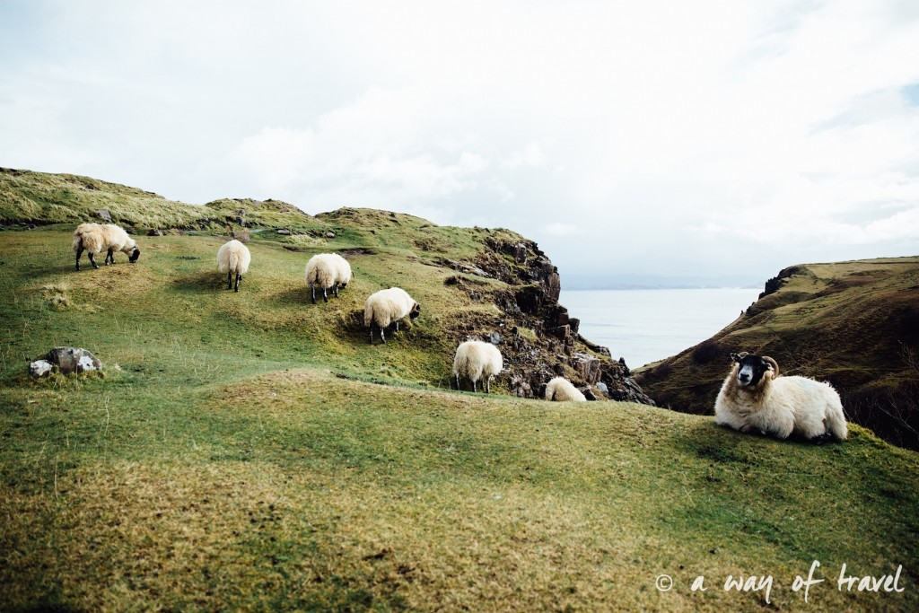 Ecosse visit scotland roadtrip isle skye blog sheeps 14