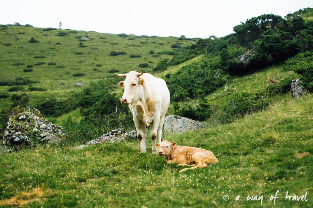 Randonnée pyrénéen lac arou Campan chevaux vaches 17