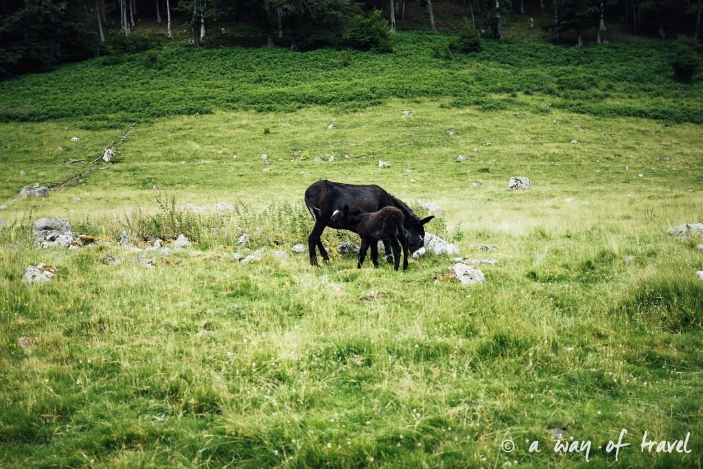Randonnée pyrénéen lac arou Campan chevaux vaches 4
