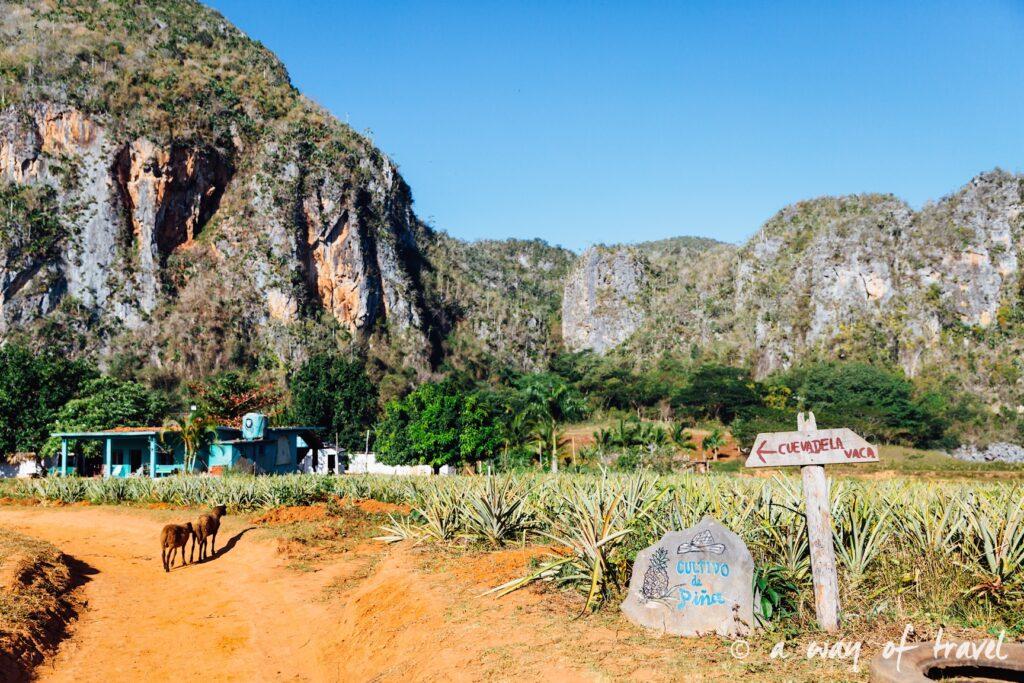 champs d'ananas Vinales Cuba Guide Voyage 20